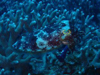 19/11/02 コブシメを見かける季節になりました。 慶良間