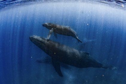 21/03/15 到着後birthday diveとクジラたち! チービシ/沖縄本島ホエールスイム